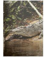 Greeting card - Saltwater Crocodile