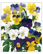 Greeting Card - Viola Tricolour