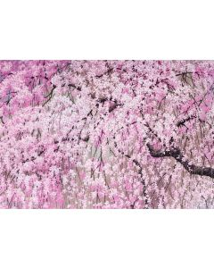 Boxed Notecards - Cherry Blossom