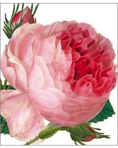 Greeting Card - Rosa Centifolia by Redoute